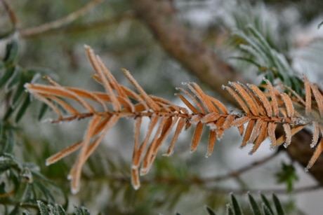 branches, dry, frost, frozen, tree, branch, outdoors, evergreen, winter, nature