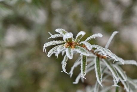 botanic, branch, conifer, frost, frozen, ice crystal, white spruce, snow, herb, plant