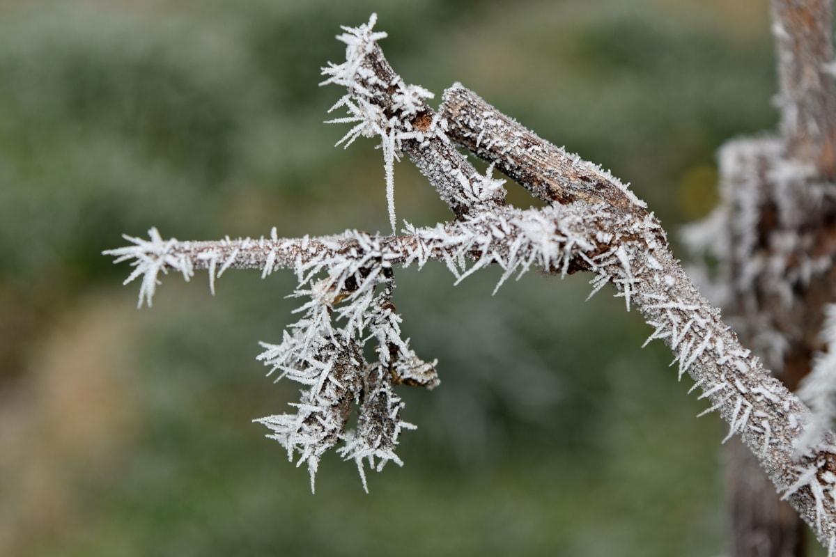 gel, congelés, brindille, vignoble, branche, herbe, nature, à l'extérieur, plante, arbre