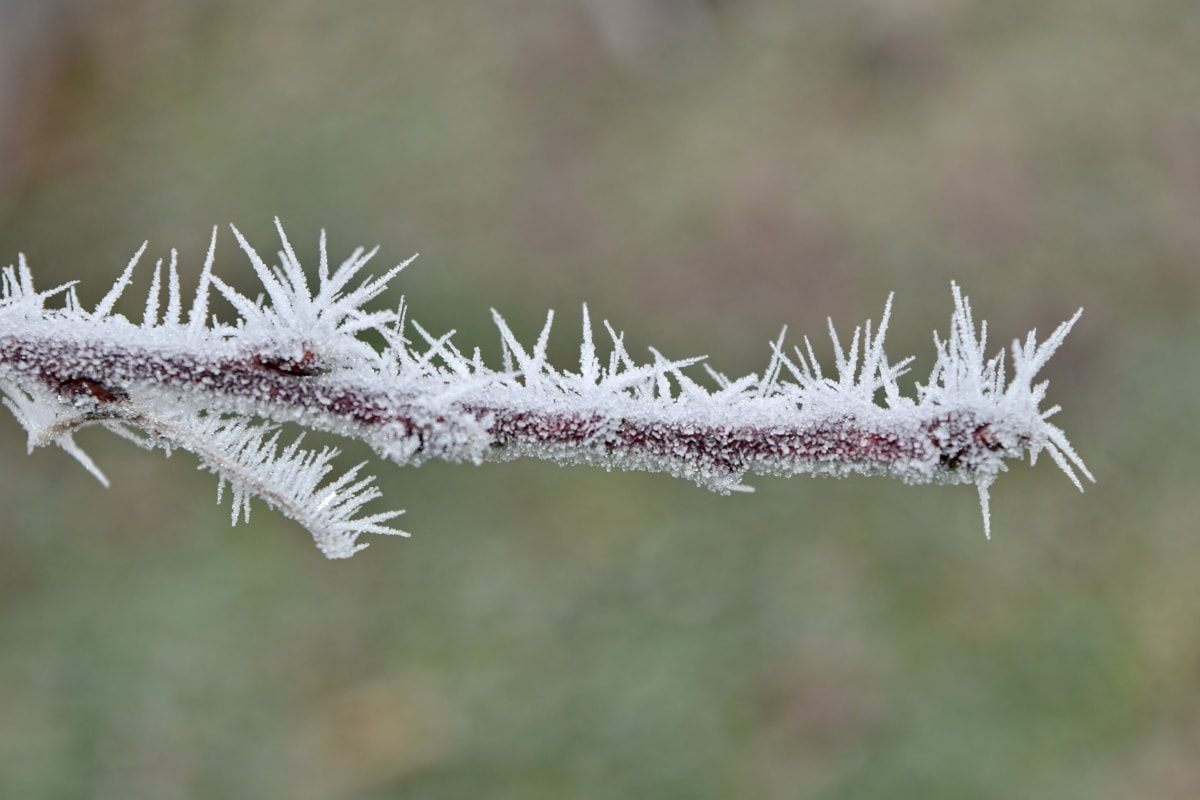 branch, close-up, frost, frozen, ice crystal, sharp, plant, nature, herb, winter