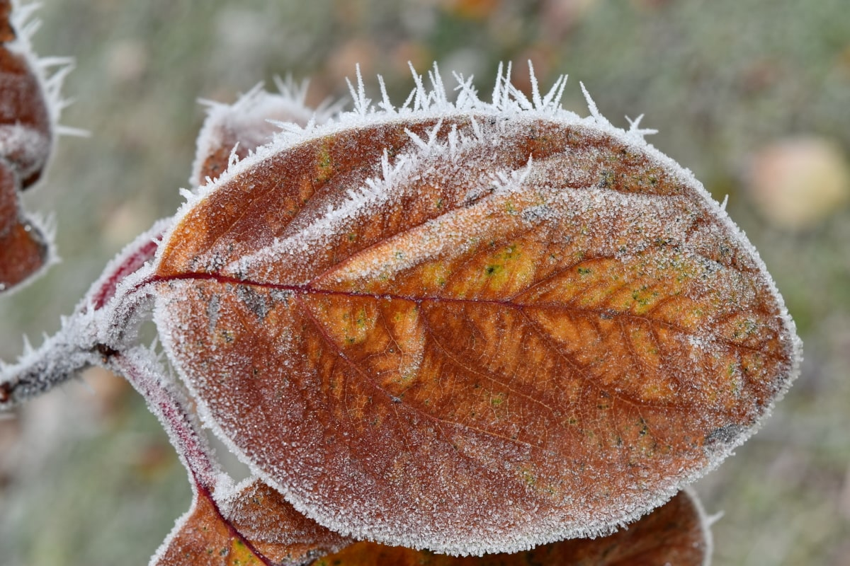 cold, frost, frozen, ice crystal, yellow leaves, winter, leaf, tree, flora, nature