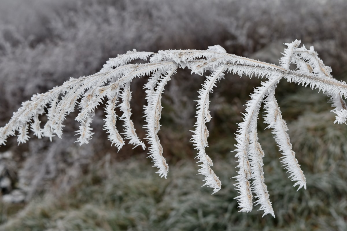 branch, dry, frosty, wildflower, cold, frozen, snow, plant, frost, winter