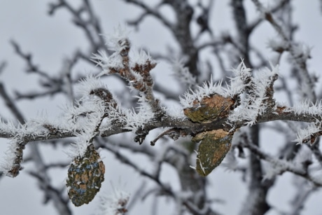 cold, frost, ice crystal, orchard, plum, tree, winter, frozen, season, branch