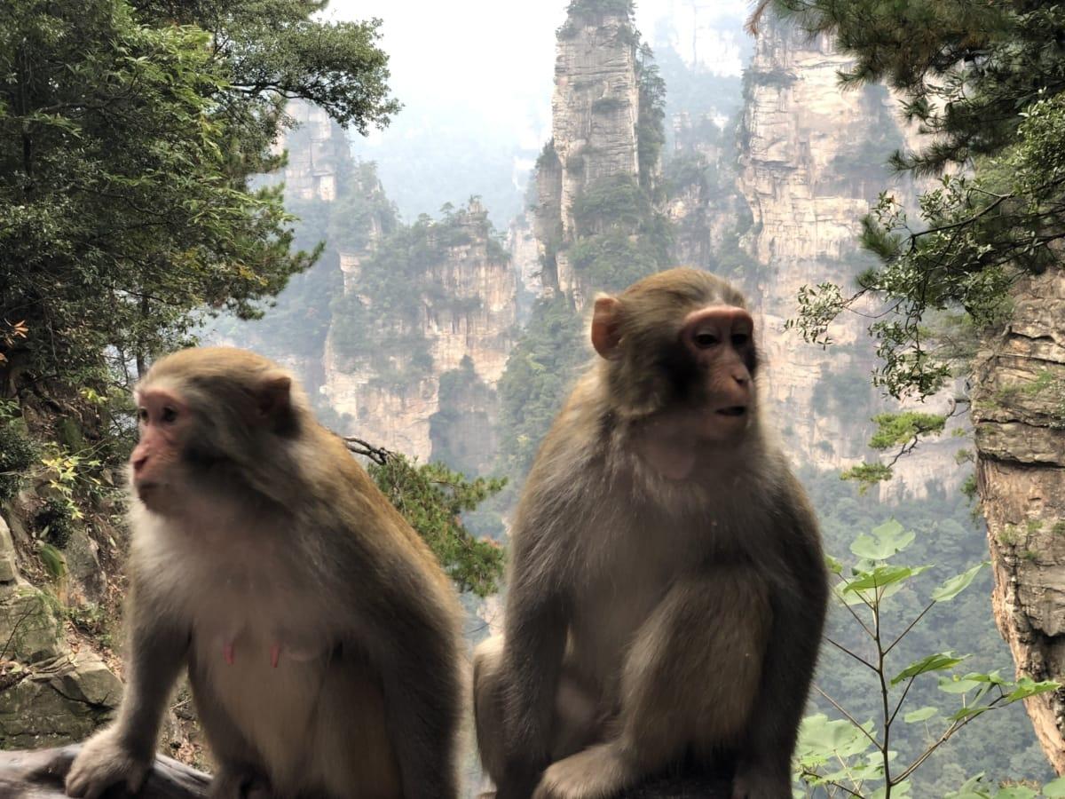 Tierwelt, wild, Primas, Makaken, Affe, Dschungel, Struktur, Tier, niedlich, Natur