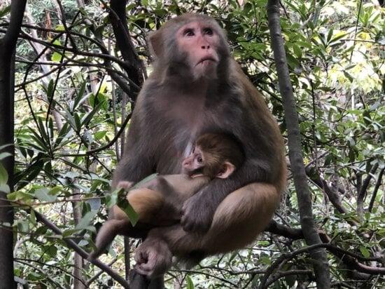 bébé, Macaque, primate, sauvage, arbre, singe, faune, nature, Jungle, animal