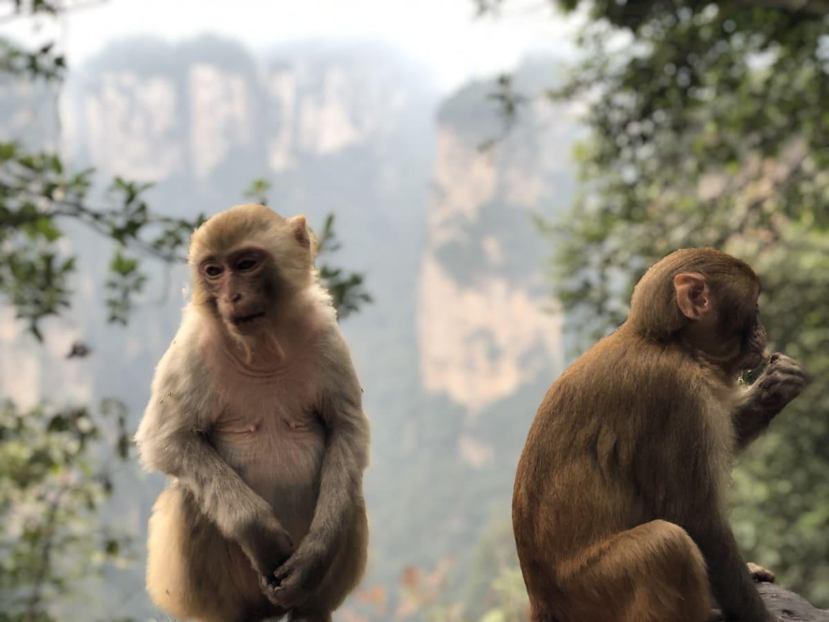 Tiere, Dschungel, Makaken, Affe, natürlichen Lebensraum, Regenwald, Tier, Kreatur, niedlich, Gesicht