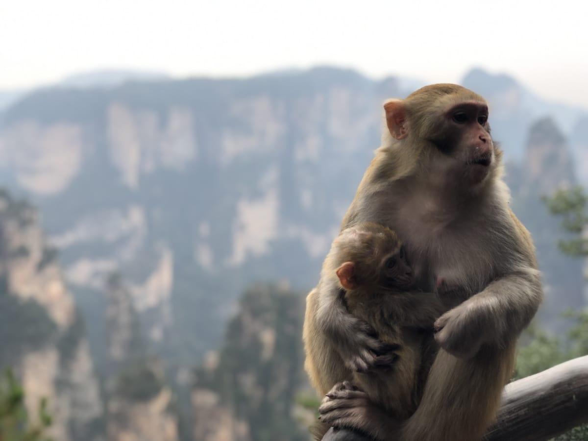 beba, majka, majmun, makaki, primat, divlje, biljni i životinjski svijet, priroda, slatka, sjediti