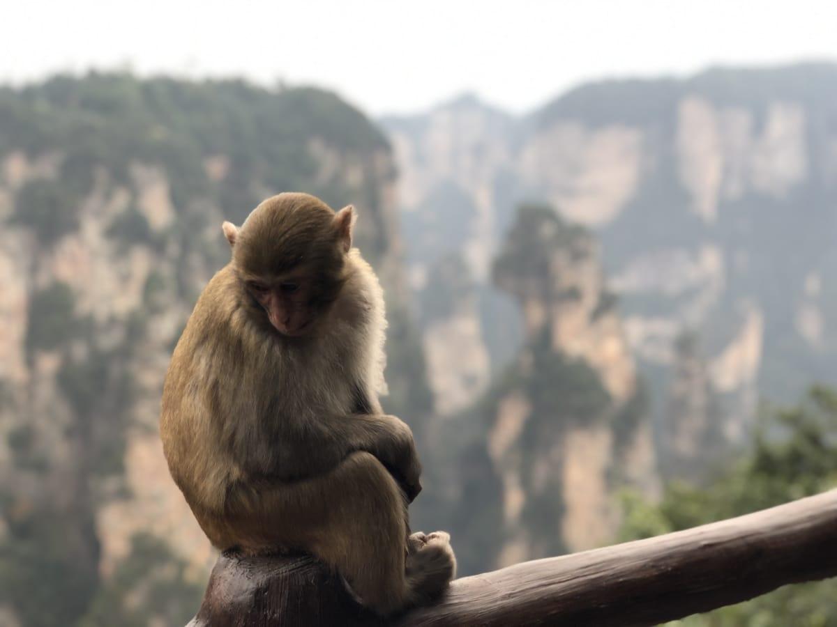 makak, opice, sedět, zvíře, zvířata, fajn, obličej, Fauna, les, kožešina