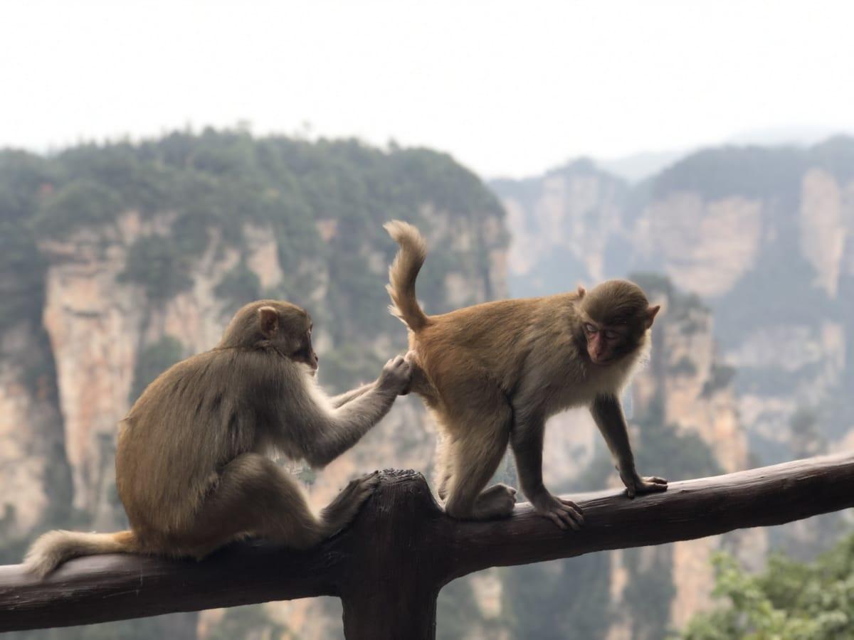 Makaken, paar, Tail, Tier, Tiere, niedlich, Gesicht, Fauna, Wald, lustig