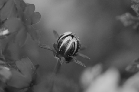 black and white, flower bud, nature, bee, flower, monochrome, flora, leaf, outdoors, focus