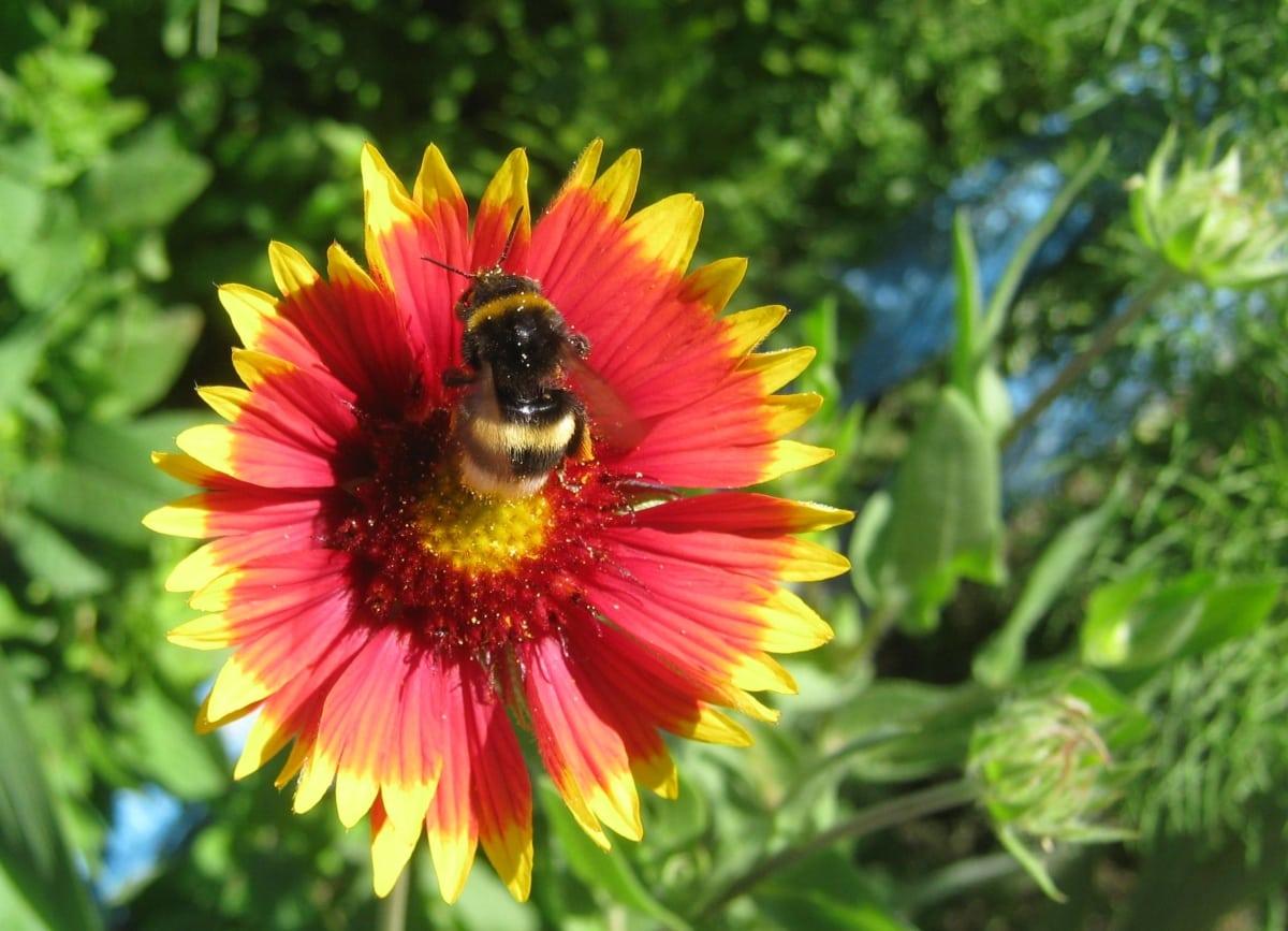 dier, hommel, detail, bloementuin, bloemen, tuinbouw, insect, nectar, oranje geel, bestuiving