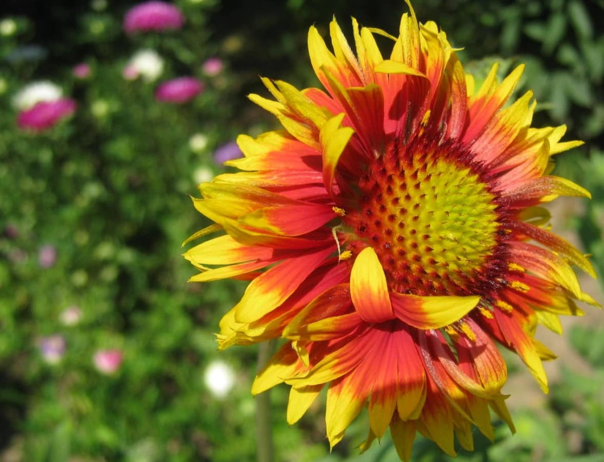 colorful, flower, flower garden, orange yellow, petals, pollen, seed, nature, yellow, summer