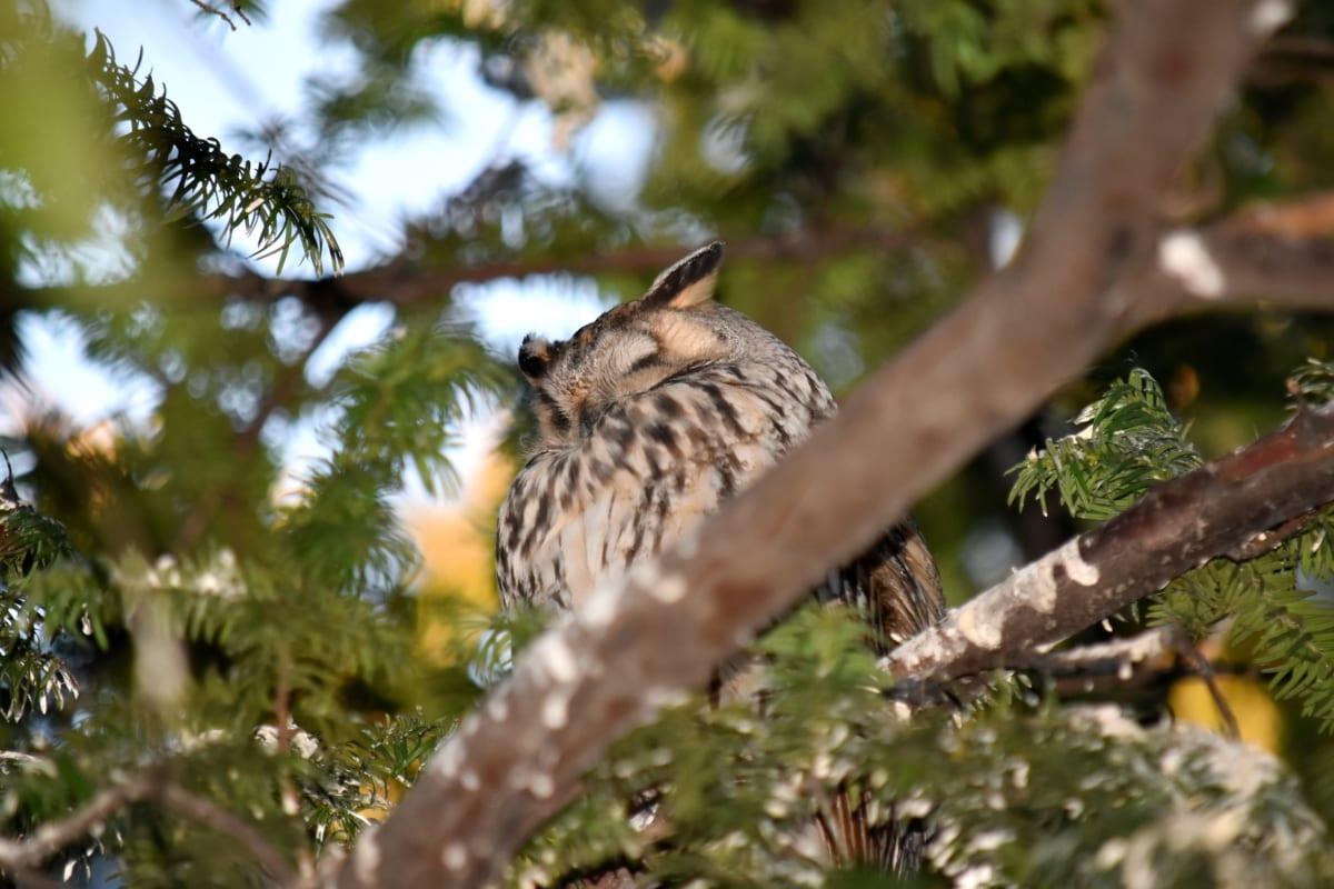 branches, great horned owl, owl, sleeping, trees, bird, beak, outdoors, vertebrate, wildlife