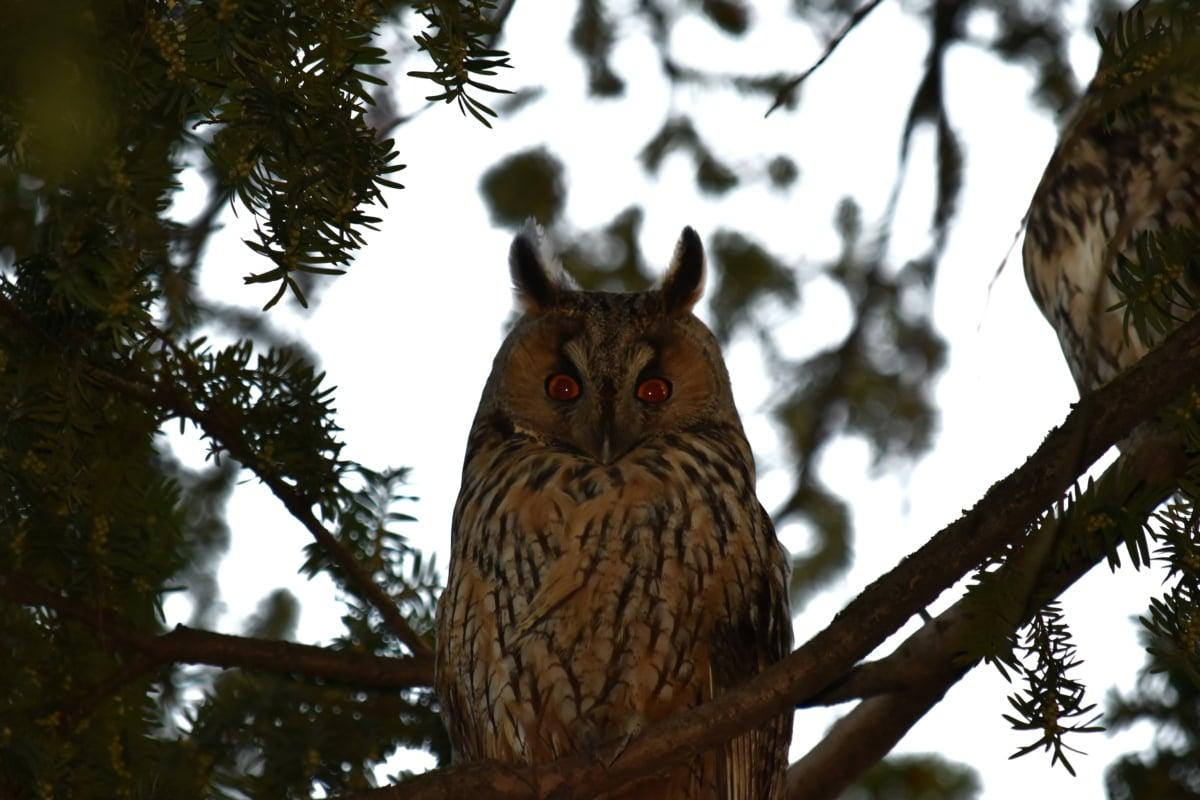 ear, eyes, great horned owl, owl, predator, raptor, bird, wildlife, tree, nature