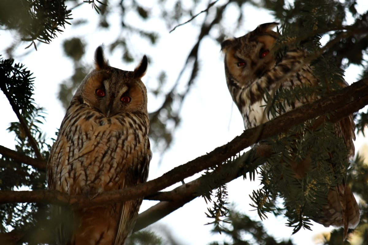 animals, bird family, great horned owl, wilderness, wildlife, owl, bird, animal, predator, portrait