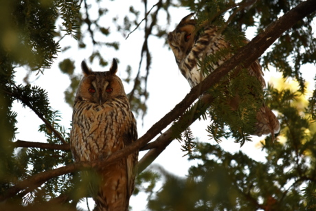 birds, branches, great horned owl, owl, pine, tree, bird, outdoors, wildlife, nature