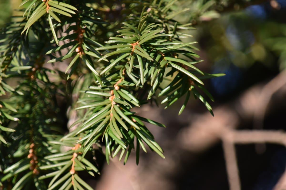 oddziały, drzewa iglaste, drzewo, natura, sosna, Oddział, zimozielony, liść, na zewnątrz, drewno
