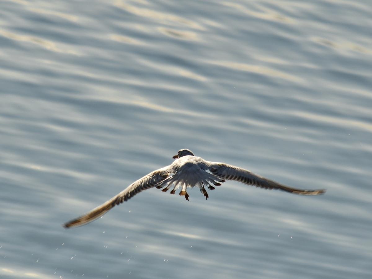 fast, flight, movement, wings, seagulls, bird, nature, wildlife, water, animal