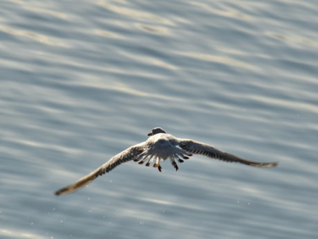fast, flight, movement, wings, seagulls, bird, nature, wildlife, water, animal