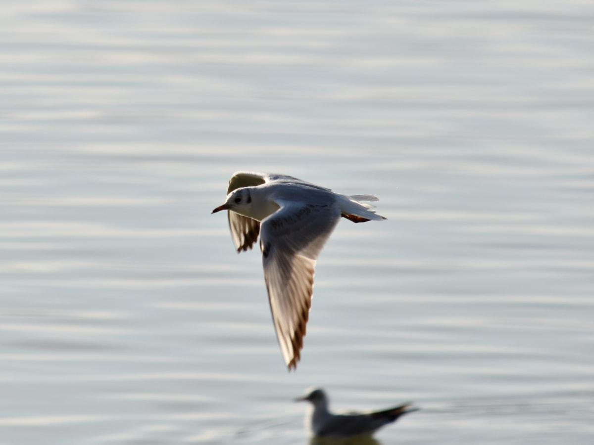 migraţia, Mişcarea, survolarea, aripi, păsări marine, pescarusi, natura, păsări acvatice, apa, faunei sălbatice