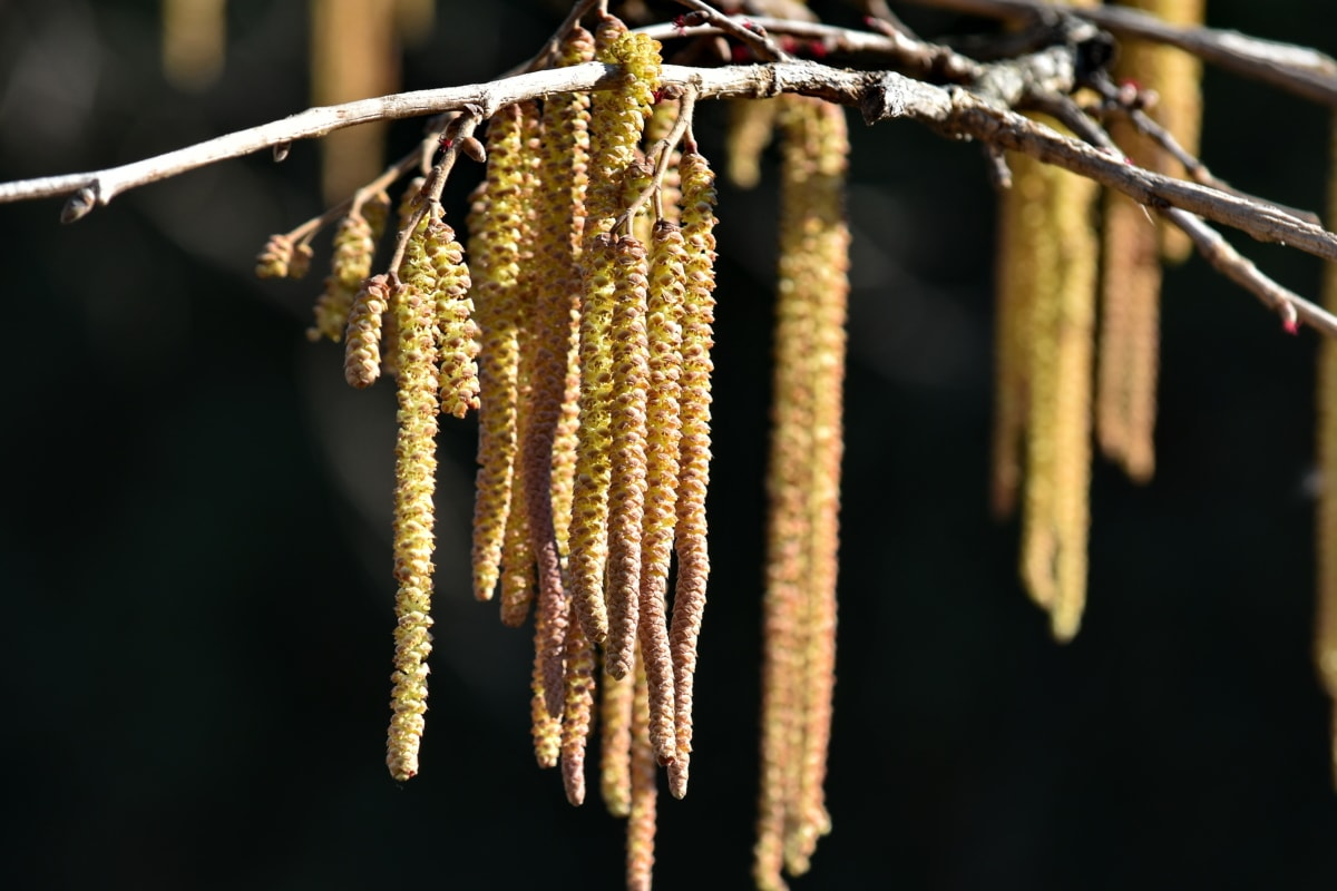 branches, hanging, seed, yellowish brown, nature, outdoors, wood, tree, dry, flora