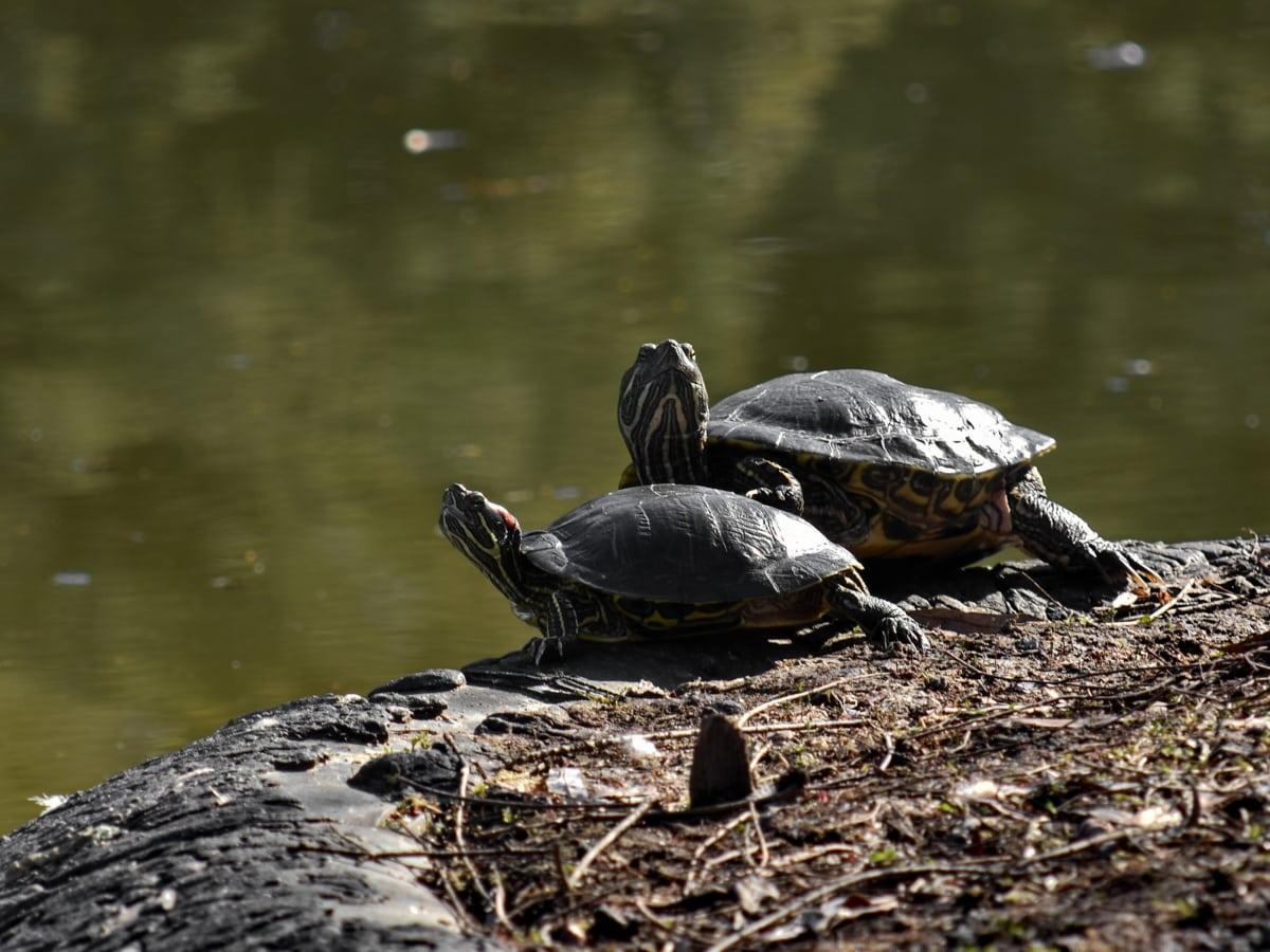 broască ţestoasă, faunei sălbatice, broasca testoasa, piscină, apa, natura, reptilă, Lacul, animale, Râul
