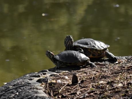 tortoise, wildlife, turtle, pool, water, nature, reptile, lake, animal, river