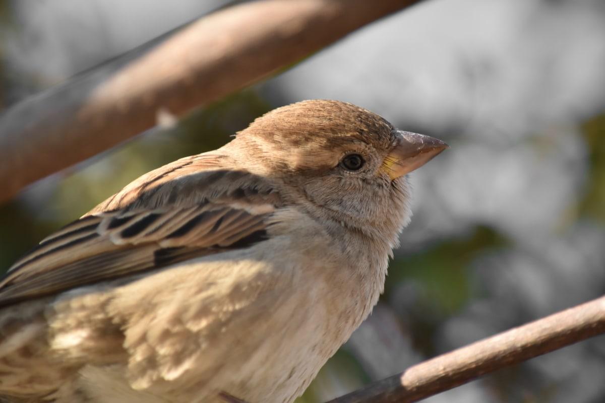 bec, œil, tête, Sparrow, faune, oiseau, sauvage, vertébré, animal, aile