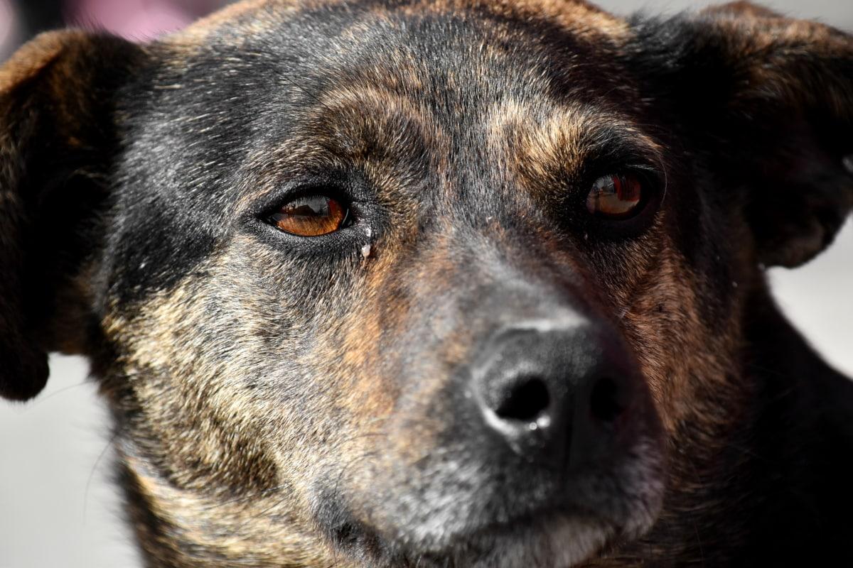 茶色, 目, 狩猟犬, 鼻, 犬, かわいい, ペット, 犬, 縦方向, 動物