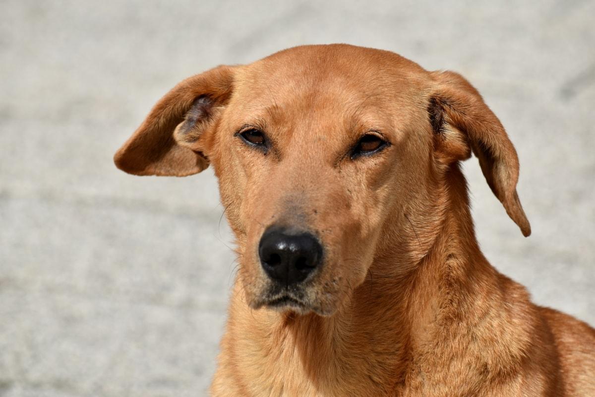 σκύλος, τα μάτια, ψάχνει, μύτη, κιτρινωπό καφέ, κυνηγετικό σκυλί, Χαριτωμένο, κατοικίδιο ζώο, ζώο, πορτρέτο
