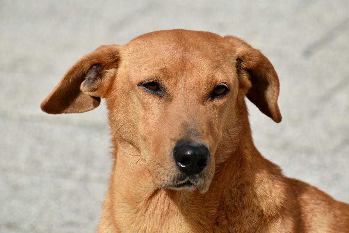 Cantik, anjing, telinga, mata, Bulu, kepala, jeruk kuning, potret, Manis, anjing berburu
