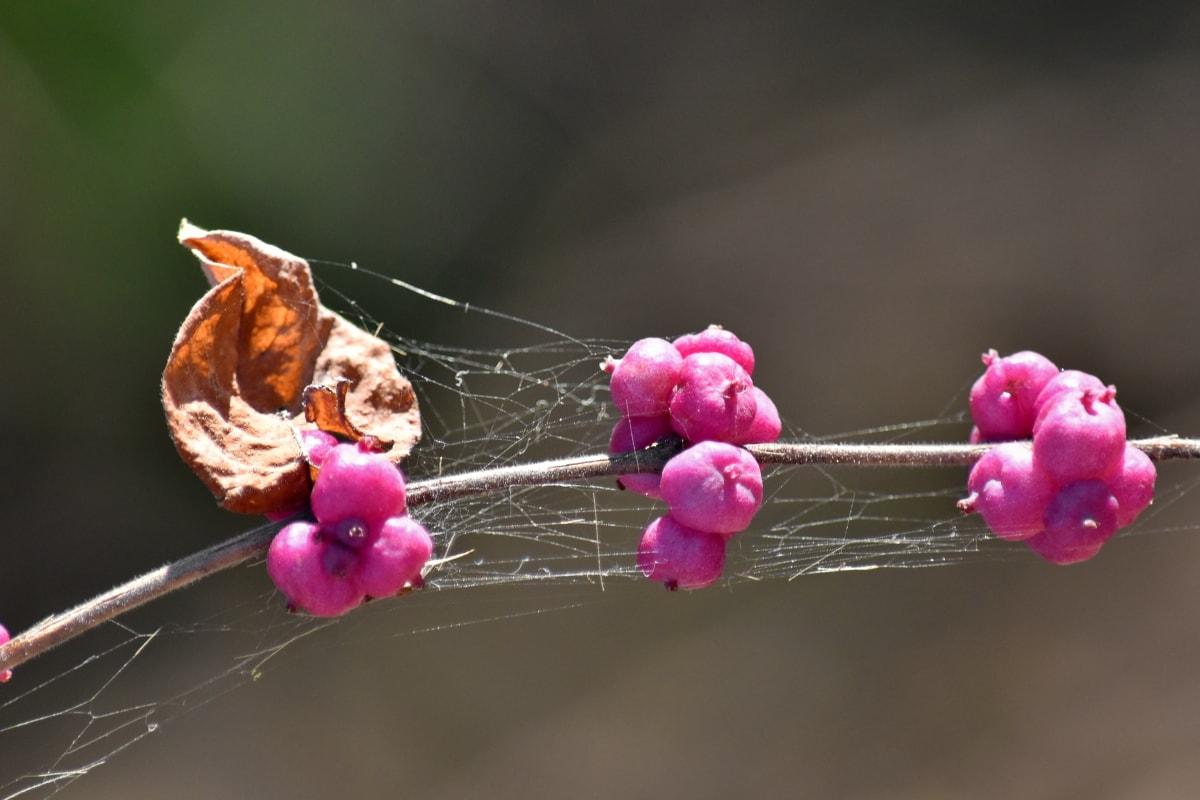 hermosas flores, bayas, yema floral, rosa, tela de araña, tiempo de primavera, arbusto, planta, flor, flora