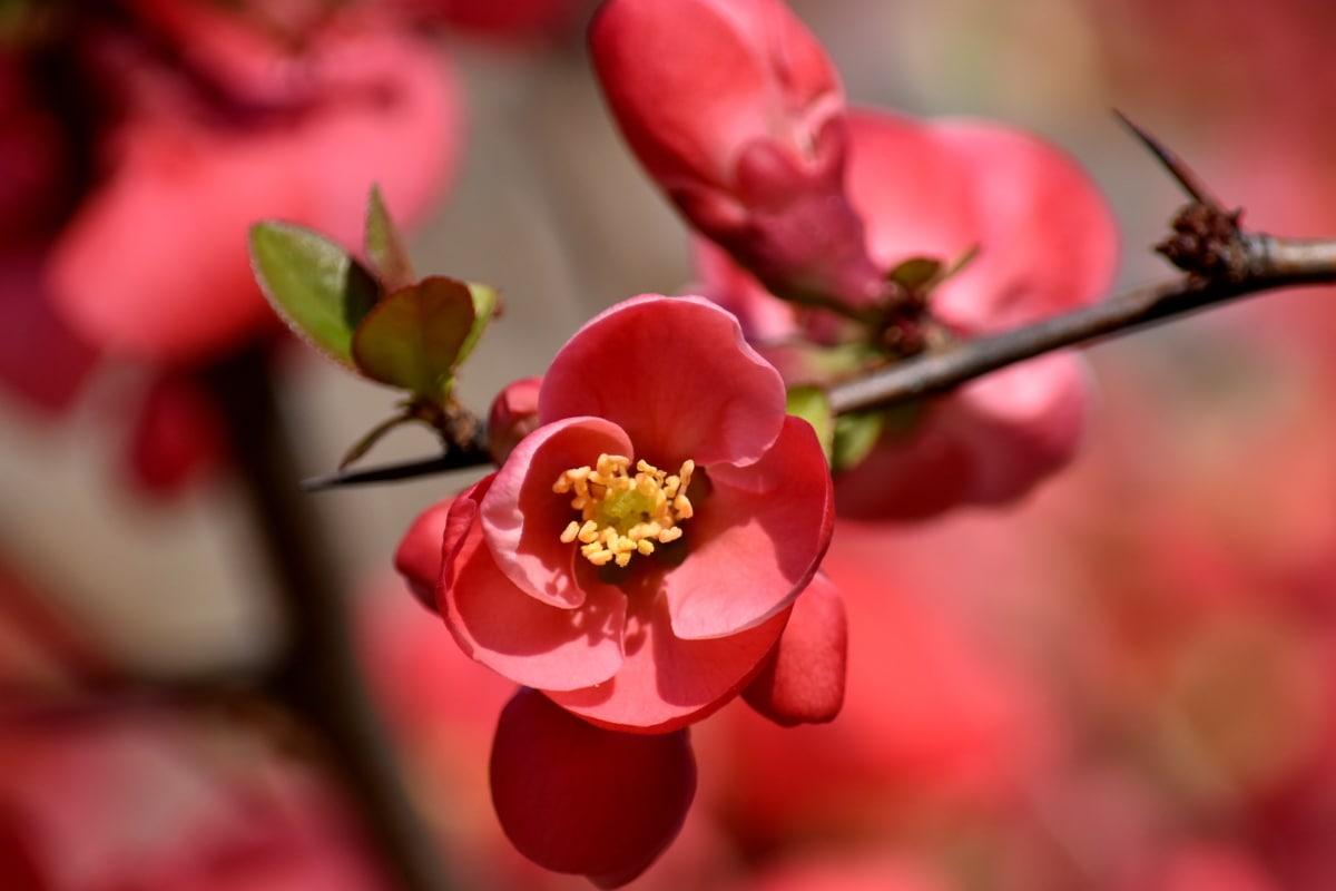 κλαδάκι, μπουμπούκι, λουλούδι στον κήπο, ροζ, κοκκινωπό, θάμνος, χλωρίδα, λουλούδι, ροζ, φύλλο