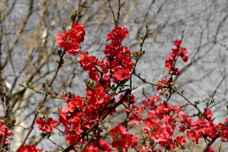 bushes, flower bud, flower garden, reddish, spring time, shrub, nature, branch, color, plant