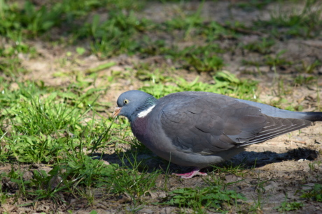 colorful, pigeon, wildlife, feather, wing, beak, animal, wild, bird, nature