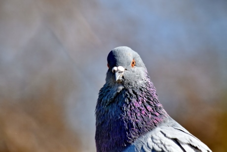 pigeon, plumage, profile, side view, animal, wildlife, beak, bird, nature, feather