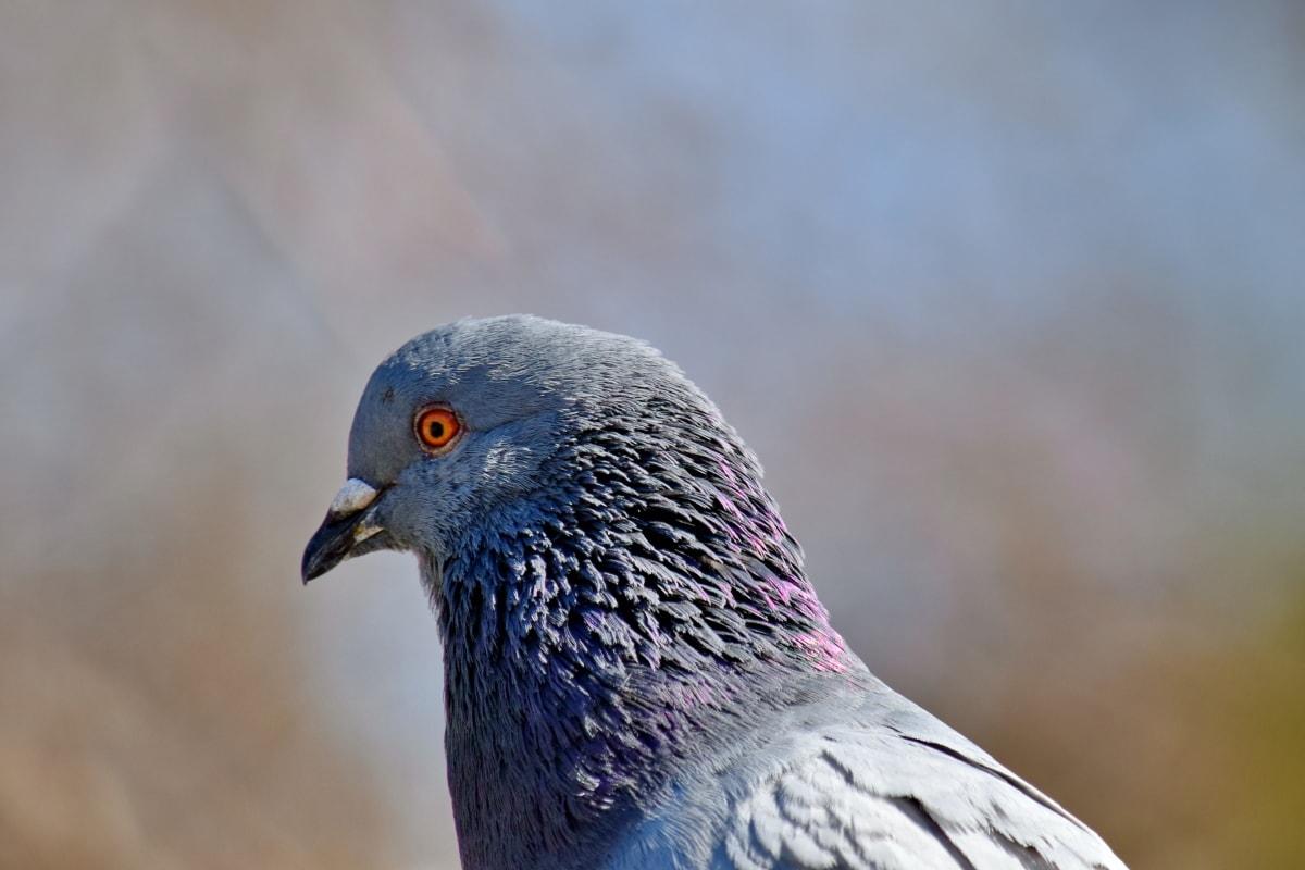 veer, hoofd, ornithologie, duif, Zijaanzicht, dieren in het wild, buitenshuis, vogel, snavel, natuur