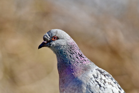 pigeon, wilderness, wildlife, bird, feather, wild, beak, animal, nature, outdoors