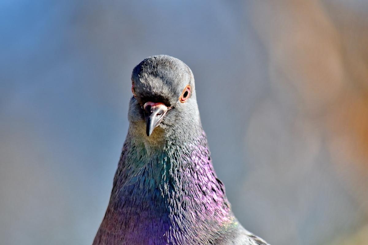 zblízka, barevné, peří, hlava, holub, pták, zvíře, divoká zvěř, zobák, Dove