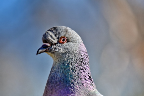 animal, beak, close-up, colorful, eye, eyeball, head, pigeon, bird, nature
