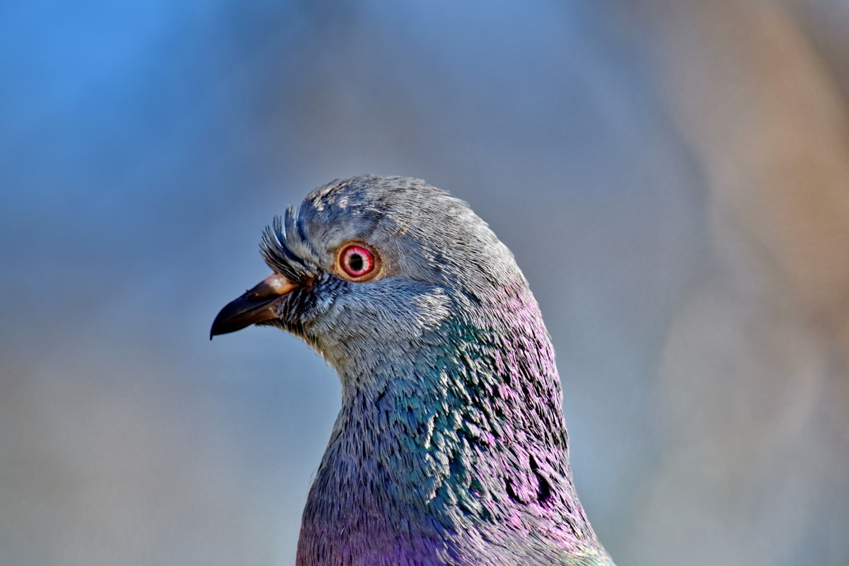beautiful photo, bird, close-up, colorful, feather, head, pigeon, portrait, side view, wildlife
