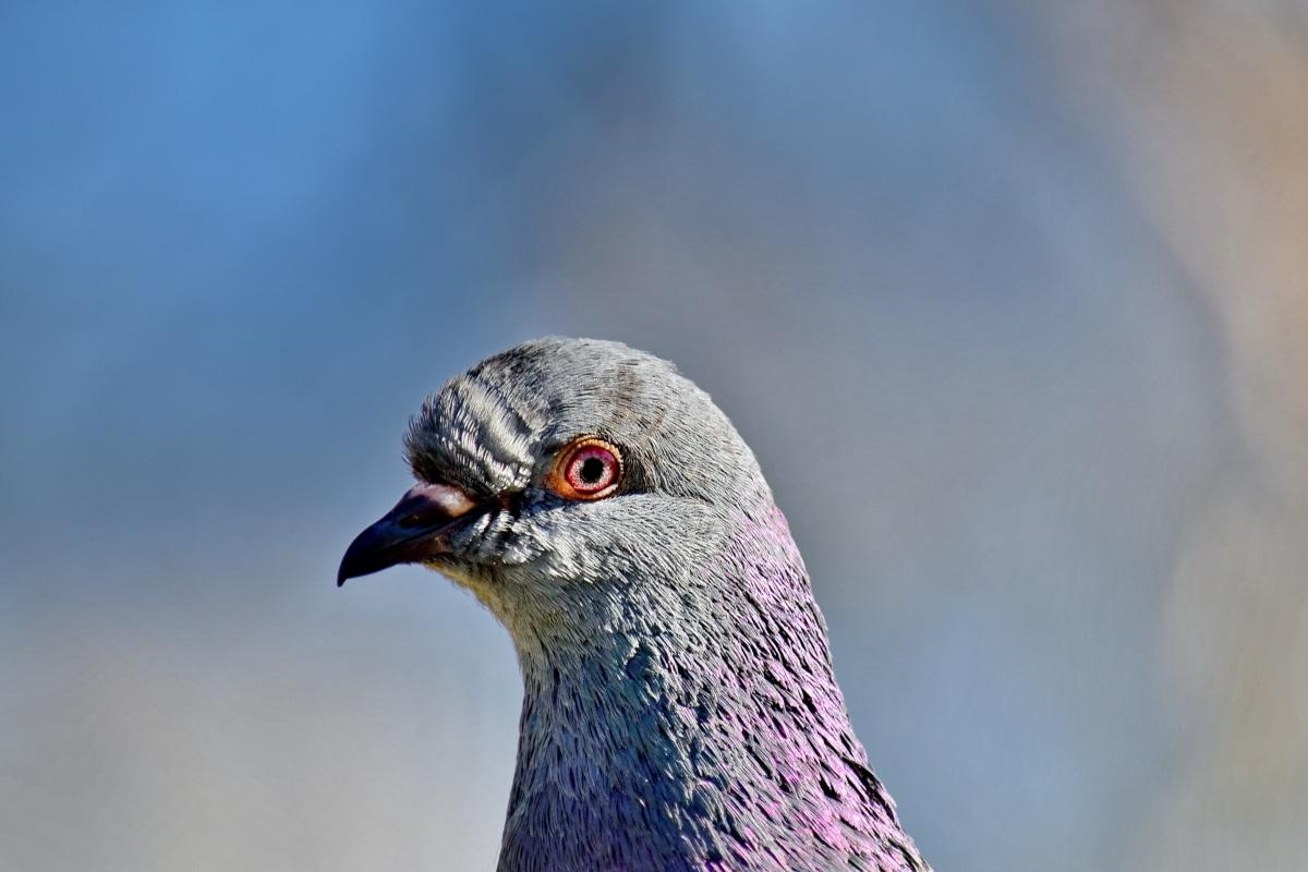 vakker, nært hold, fargerike, hodet, Due, lilla, dyr, fugleinfluensa, nebb, fuglen