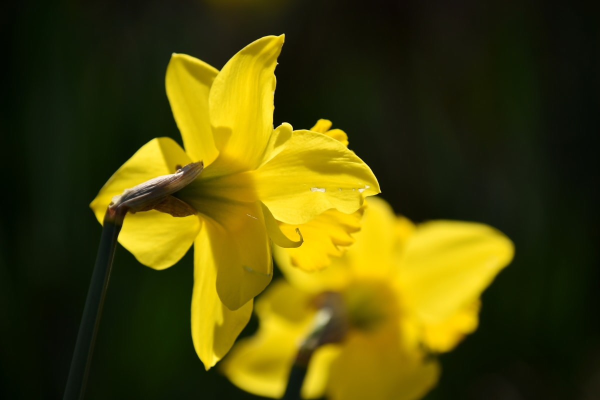 daffodil, flower garden, focus, side view, spring time, spring, yellow, plant, herb, garden