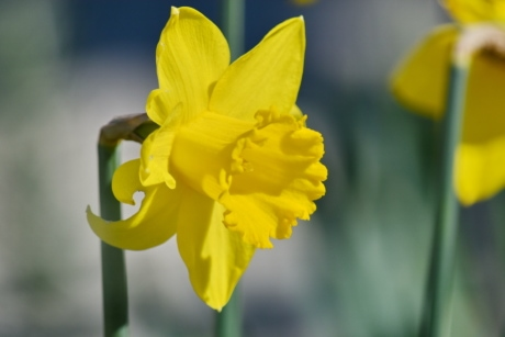blurry, daffodil, narcissus, yellow green, yellowish, blossom, plant, spring, flower, garden