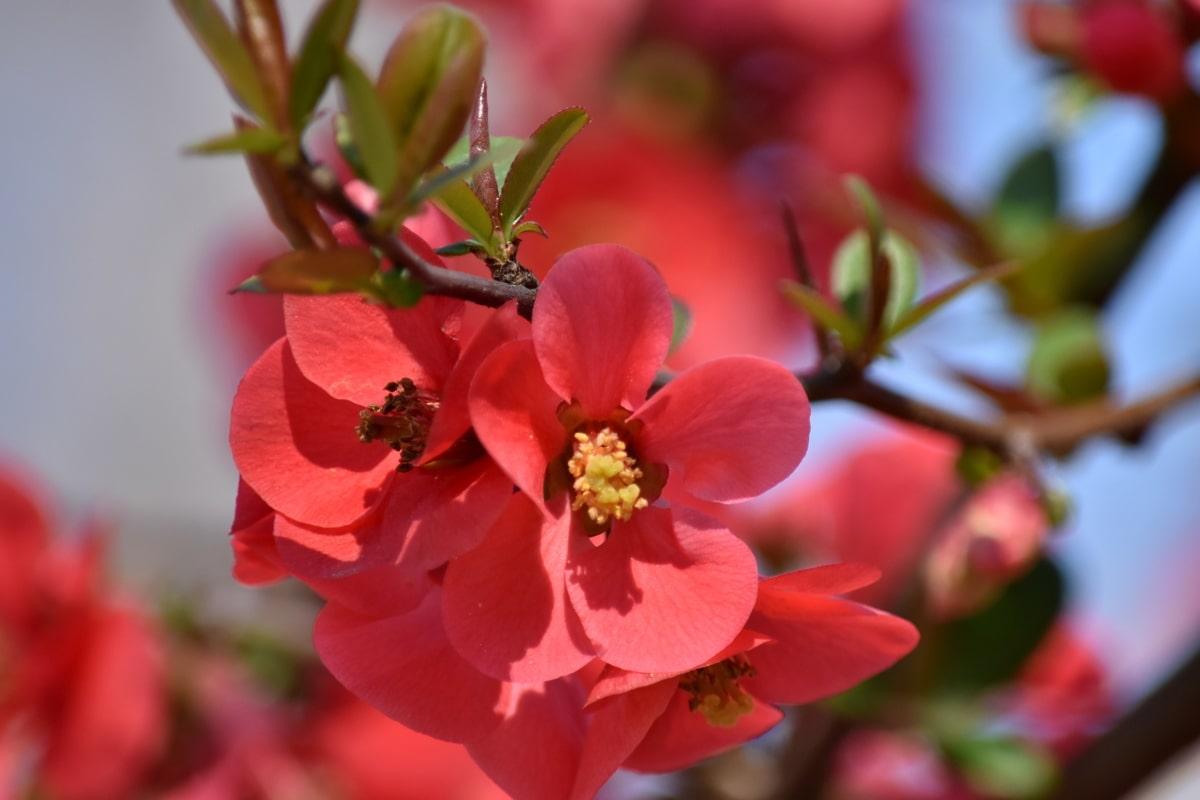 Zweig, Blütenknospe, Blumengarten, Frühling, Natur, Anlage, Blütenblatt, Frühling, Strauch, Blüte