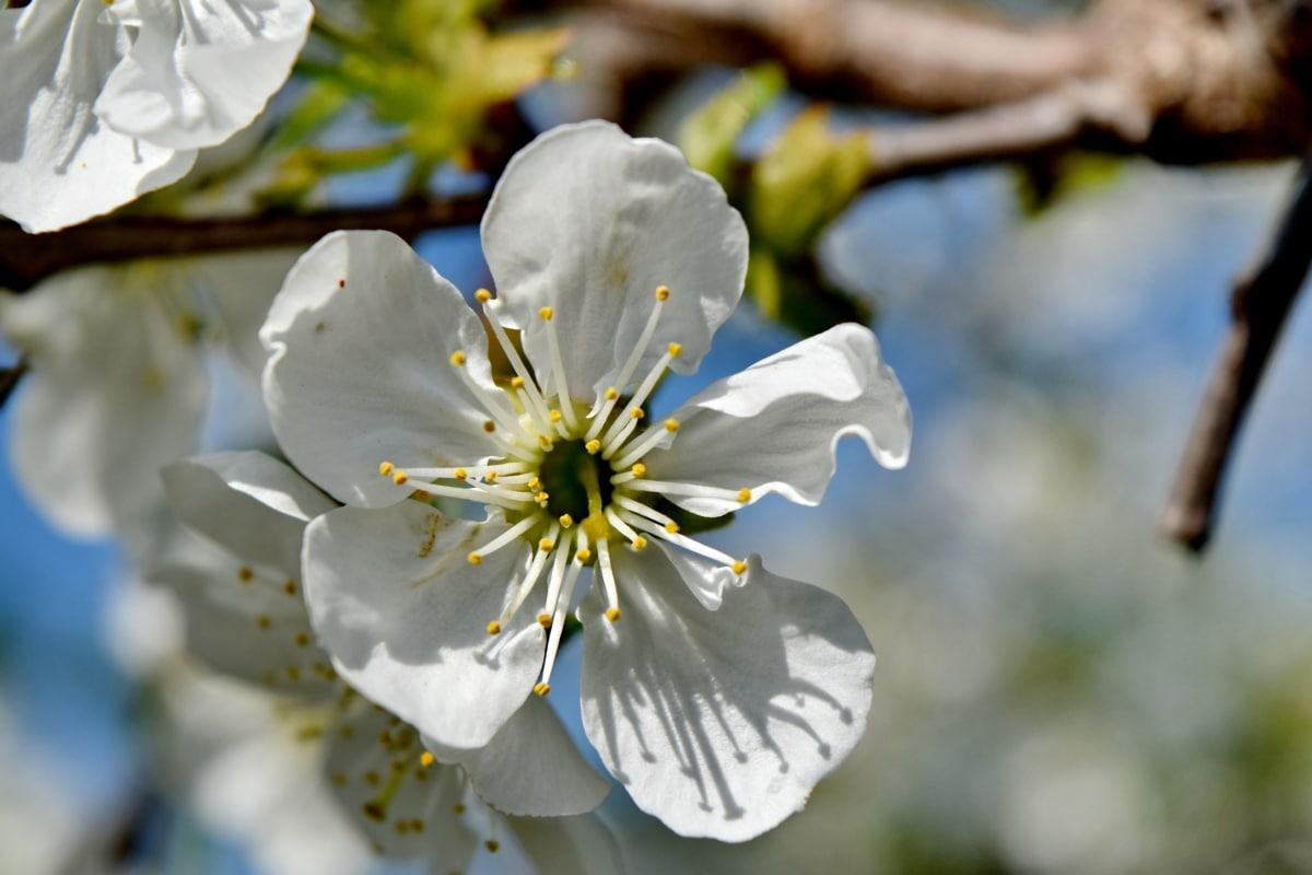 клонове, цветен прашец, пролетно време, бели цветя, цвят, глог, растителна, цвете, пролет, природата