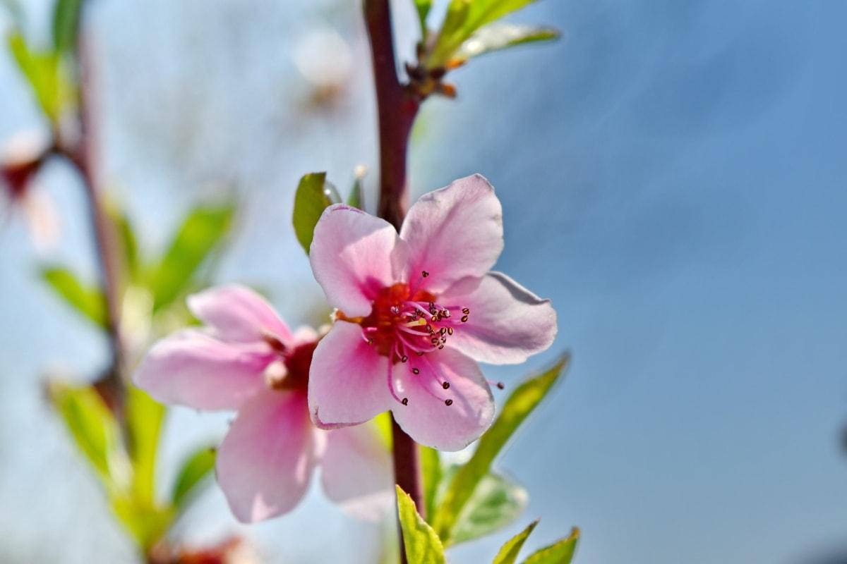 floare mugur, roz, arbust, timp de primăvară, petale, roz, primavara, floare, frunze, natura