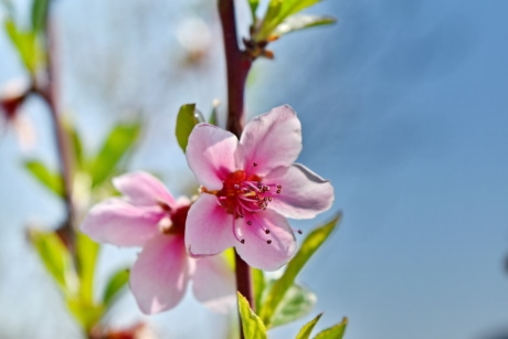 flower bud, pinkish, shrub, spring time, petal, pink, spring, flower, leaf, nature