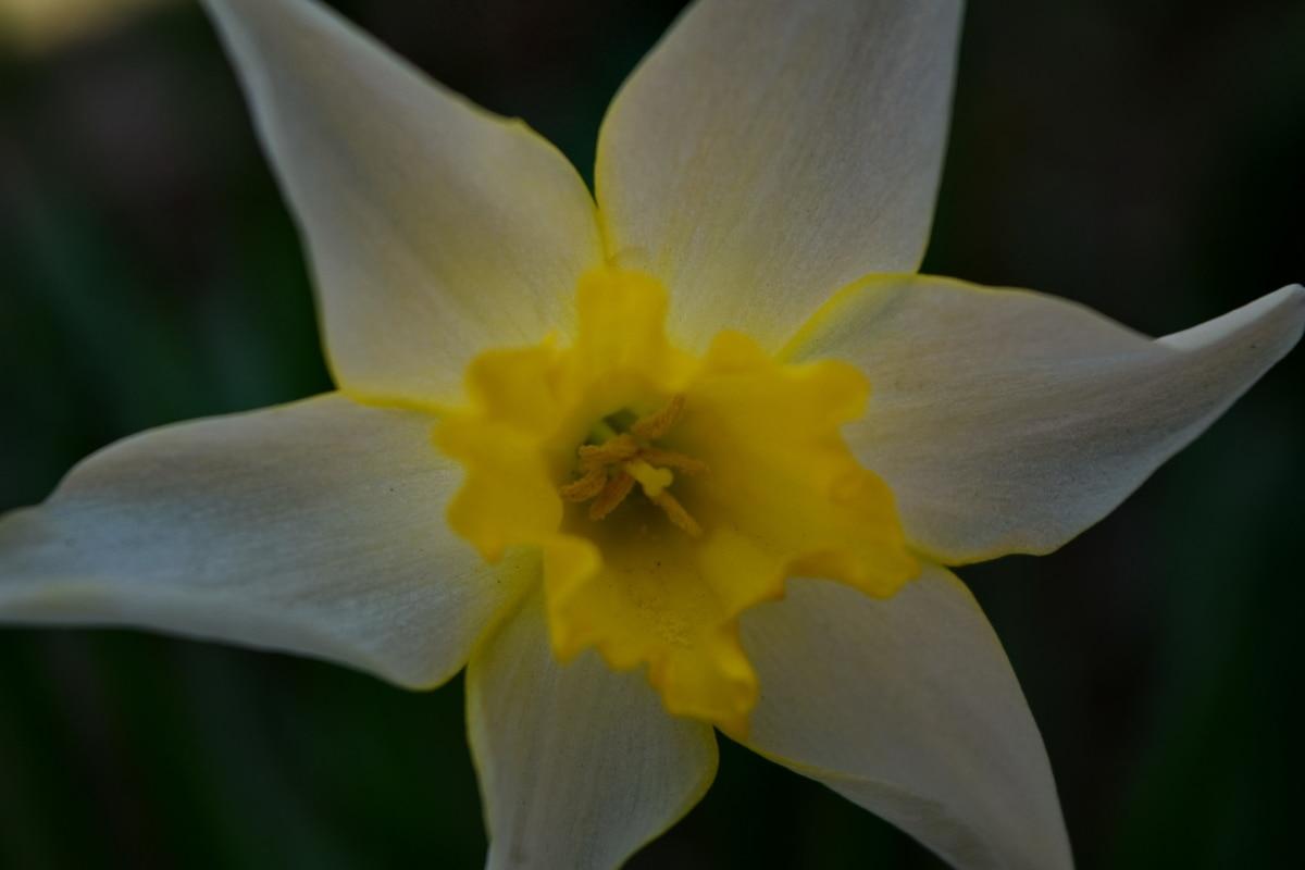 fermer, jonquille, mise au point, jaune verdâtre, printemps, nature, fleur, feuille, Narcisse, flore