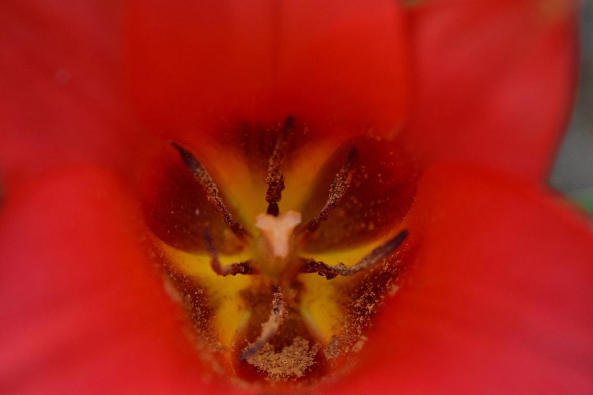 fokus, makro, kronblad, støvbærere, rødlig, tulipan, blomst, kronblad, flora, natur